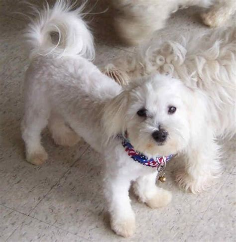 do bichon maltese shed bichon maltese mix www pixshark images galleries