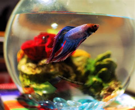 betta fish span the best environment for a betta