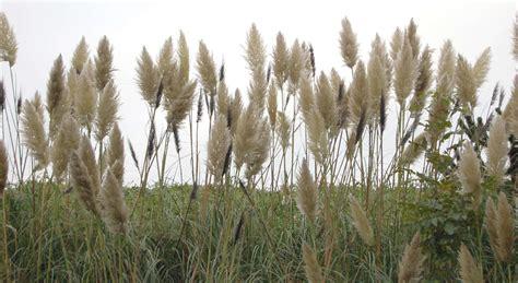 grasstall  background texture reed tall grass