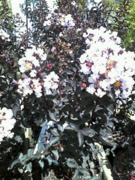 black diamond blush crepe myrtle beautiful plants