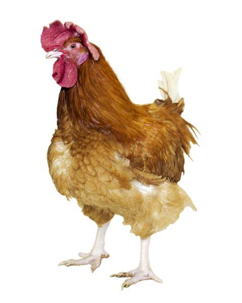 cuisiner la poule cuisiner poule poule coloriage poule en ligne gratuit a