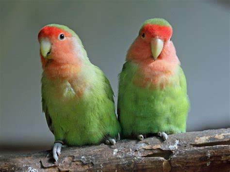 peach faced lovebirds facts pet care temperament price pictures singing wings aviary