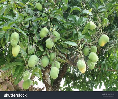 Images Of Tree Of Mango Tree With Green Fruits Stock Photo 104473166