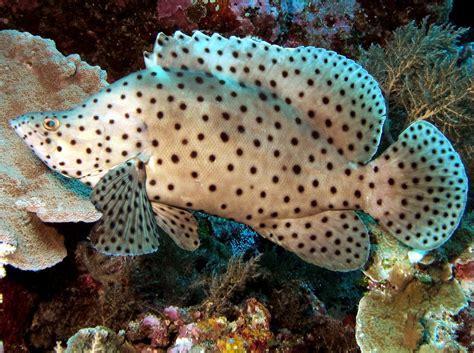 fish saltwater grouper humpback aquarium tropical indonesian groupers compatibility tank altivelis water palau predatory aggressive reefs location