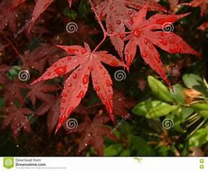 Rote Blätter Baum : rote asiatische ahornholz baum bl tter stockbilder bild ~ Michelbontemps.com Haus und Dekorationen