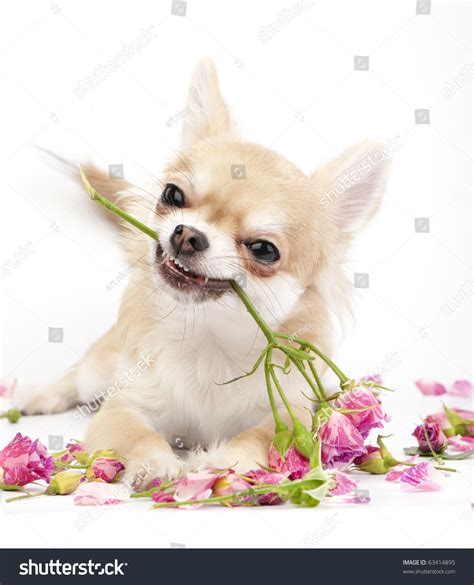 Smiling Chihuahua Puppy Giving Pink Roses On White ...