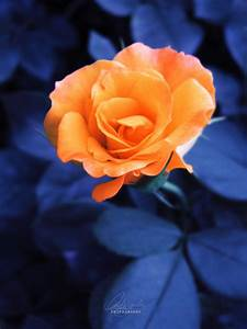 Orange Rose Pictures, Photos, and Images for Facebook ...