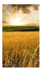 Fresh Golden Wheat Field 1080p Wallpaper | Field wallpaper ...
