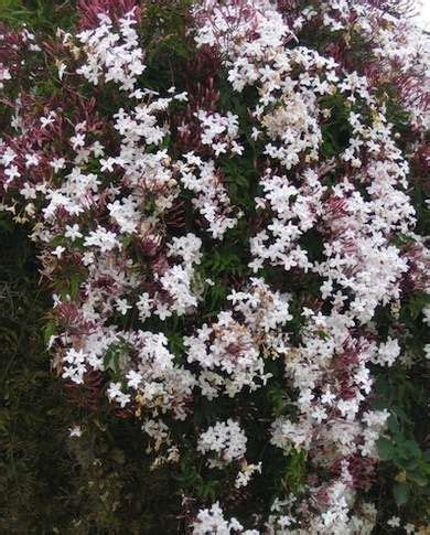 Climbers Pink Jasmine  A Thirsty, Speedy Grower That