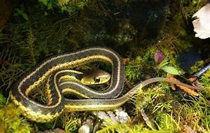 Common Garter Snake | Teagan | Pinterest
