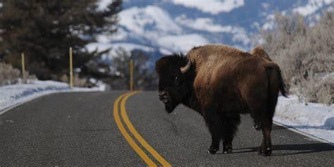 yellowstone bison killed reward offered   animals