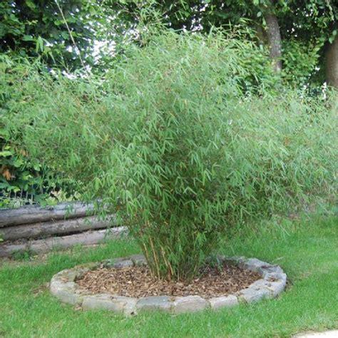 bambou non traant en pot bambou non tra 231 ant en pot 7 litres 15 l 25 l etc plante ornementale plantes nature