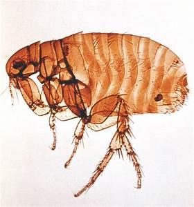 ماهي الحشرة التي تتكاثر دون الحاجة للذكور | المرسال