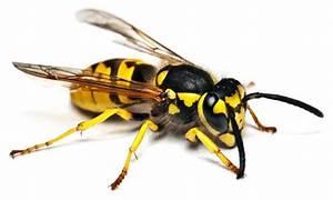 Was Essen Wespen : was fressen insekten was fressen ~ Frokenaadalensverden.com Haus und Dekorationen