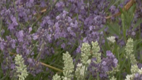 when do you plant lavender gardening tips how to grow lavender plants youtube