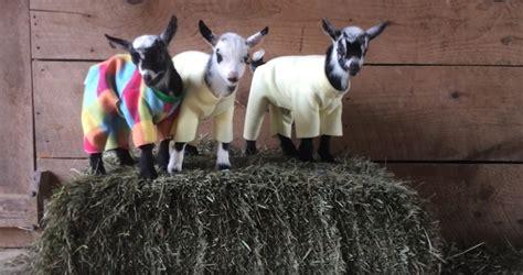 adorable pygmy goat kids  pajama party  barn