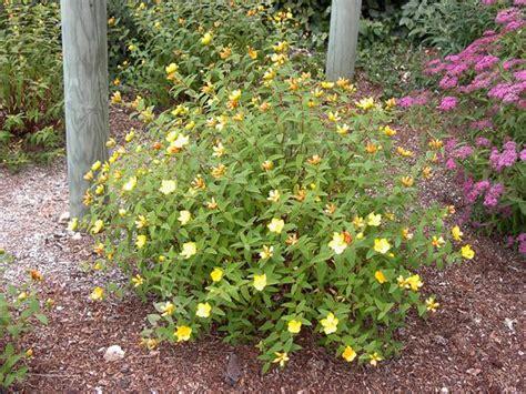hypericum moserianum arbustes couvre sol