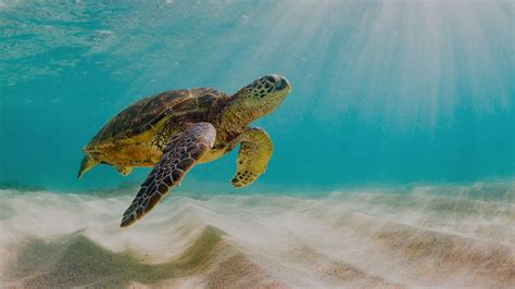 pacific green sea turtle galapagos islands marine