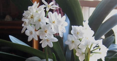 flowers that smell sorta fabulous paperwhites beautiful white flowers that smell bad