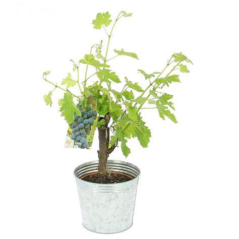 livraison pied de vigne fruitier foliflora