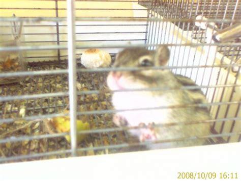 Gabbia Gerbillo - scoiattoli striati giapponesi catania