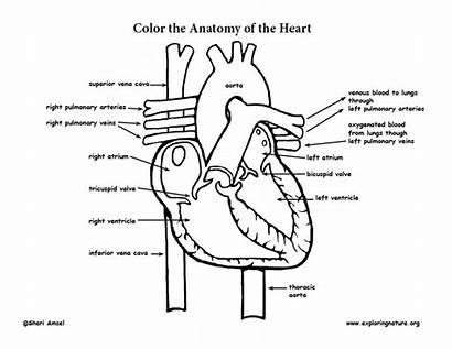 Coloring Heart Anatomy Pdf Exploringnature