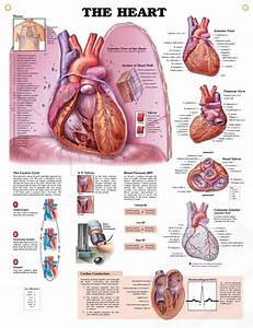 22 Best General Knowledge Of Anatomy Of Cardiovascular