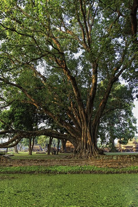 bodhi tree images bodhi tree photograph by thomas von aesch