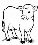 Cow Realistic Coloring Getdrawings Printable sketch template