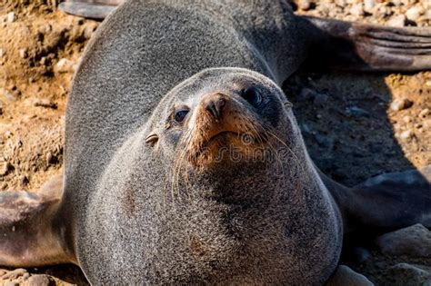 Head Close Up Of Galapagos Sea Lion Stock Photo Image Of
