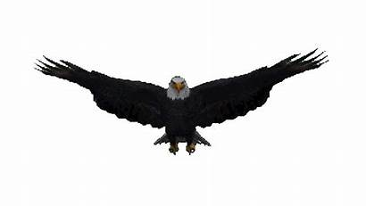 Eagle Gifs Soar Flying Animated Aigles Bald