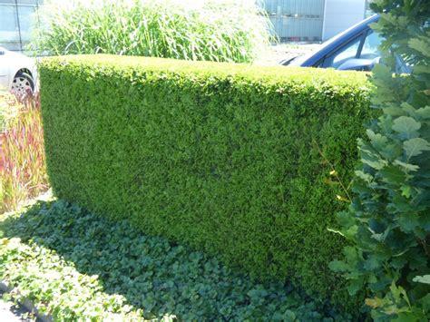 thuja hecke entfernen thuja hecke pflanzen und pflegen hilfreiche gartentipps hecke entfernen