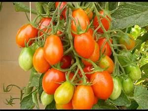 Tomaten Düngen Hausmittel : stachelbeeren d ngen schneiden pflegen balkon garte ~ Whattoseeinmadrid.com Haus und Dekorationen
