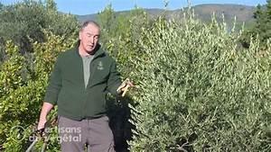 Comment Tailler Les Orchidées Pour Qu Elles Refleurissent : comment tailler un olivier youtube ~ Melissatoandfro.com Idées de Décoration