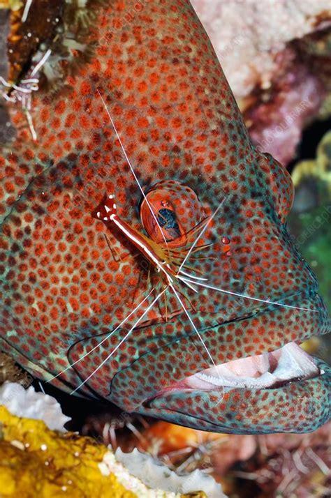 grouper cleaner shrimp