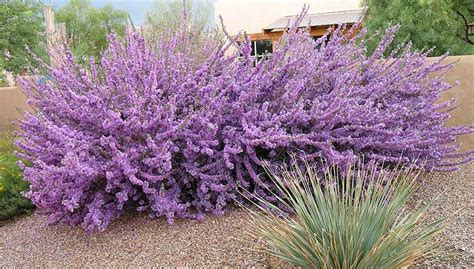Desert Gardening Raging Sages High Summer Flowering Shrubs