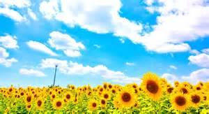sunflower wedding 夏にしか出来ない ひまわりがテーマのウエディングが超カワイイ alolea アロレア