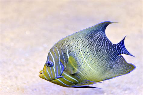 fish tropical bright andaman scorpion sea gobius grouper similan cruentatus thailand islands bay