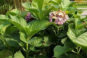Hanfpalme Braune Blätter : hortensie bekommt braune bl tter welke blattspitzen was tun ~ Lizthompson.info Haus und Dekorationen