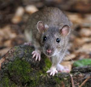 Produit Pour Tuer Les Rats : les rats association pea pour l 39 galit animale ~ Voncanada.com Idées de Décoration