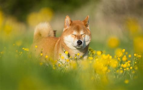 Summer Animal Wallpaper - shiba inu hd wallpaper and background image
