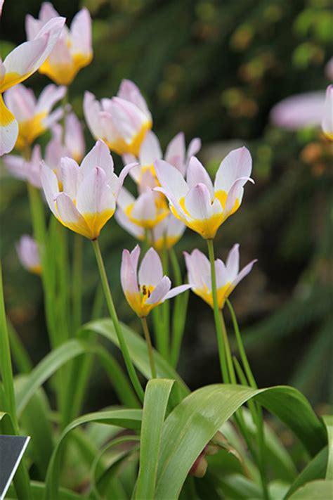 buy miscellaneous tulip bulbs tulipa saxatilis