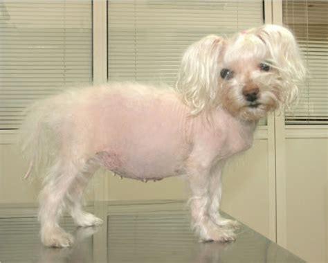 canine cushings disease spot speaks
