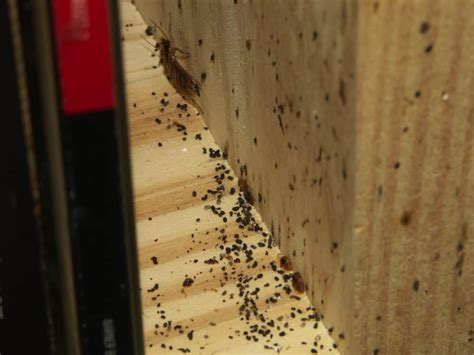 boric acid borax kill bed bugs pestseek