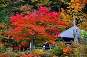 different types of japanese maples autumn colors in kuroishi aomori mori