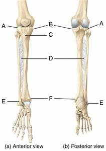Multichoice  The Skeletal System  The Appendicular