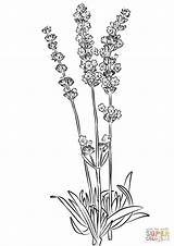 Lavender Coloring Pages Printable Flowers Plants Drawing Colorings Adults sketch template