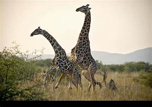 Giraffe Mating With Zebra