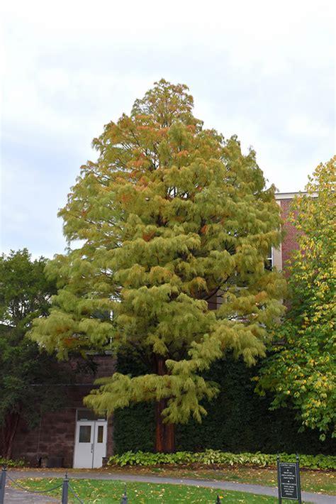 baldcypress taxodium distichum  columbus dublin