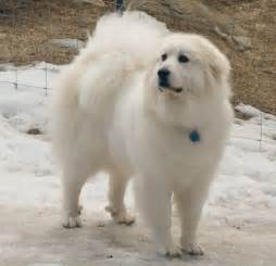 great pyrenees home from the beauty shop